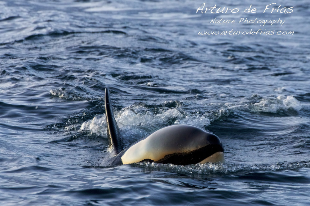 Baby Orca looking at me