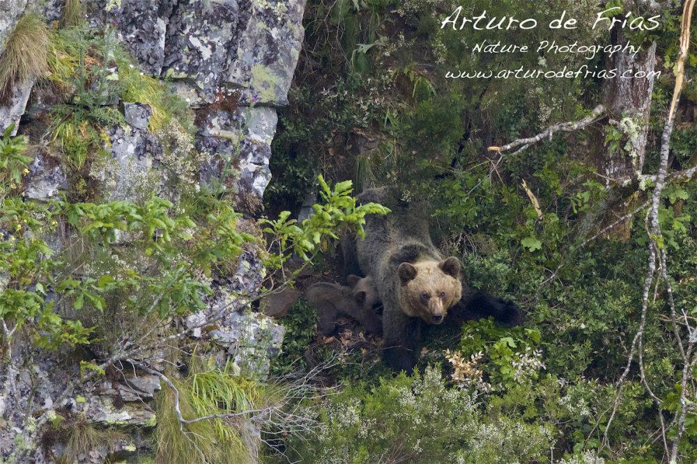 Mother Bear Nursing Cub