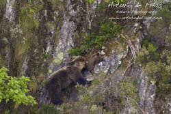 Mother Bear and Cub Playing