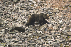 Brown Bear in Scree area