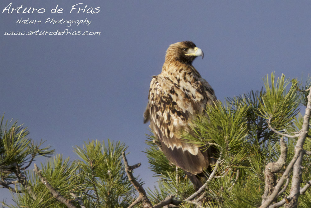 Young Imperial Eagle