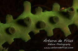 Black Sun Coral and Goby