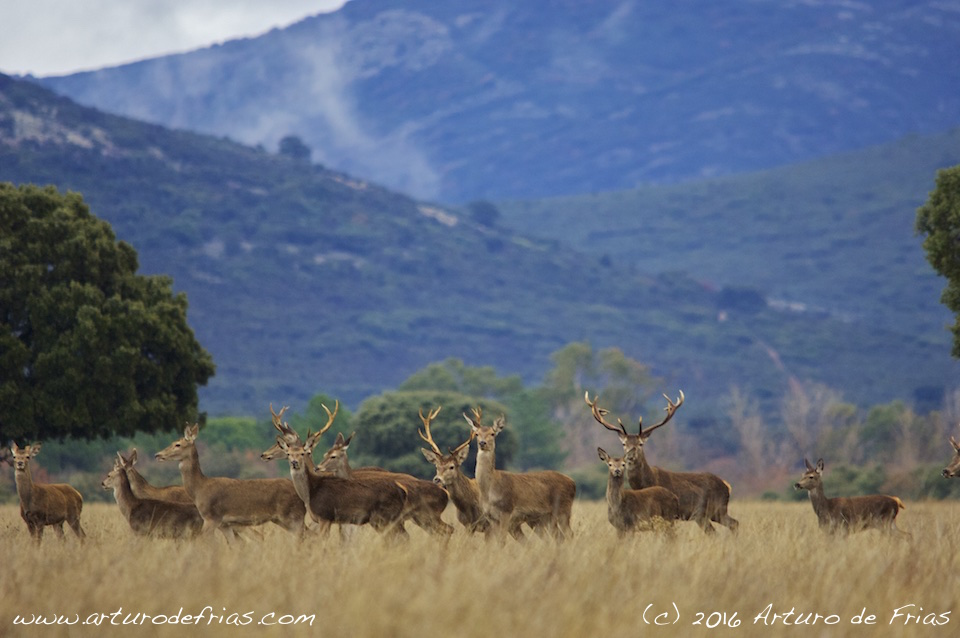 Red Deer Herd