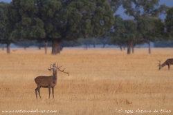 Deer Stag Bellowing