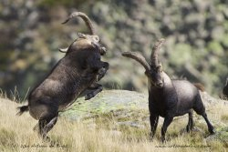 Ibex males fighting