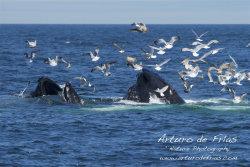 Two Humpbacks feeding