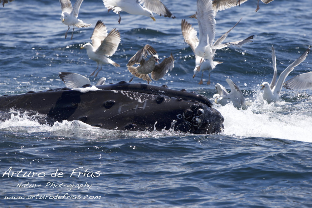 Humpback Feeding Close
