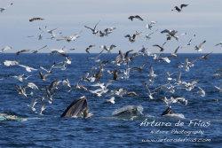 Three Humpbacks Feeding