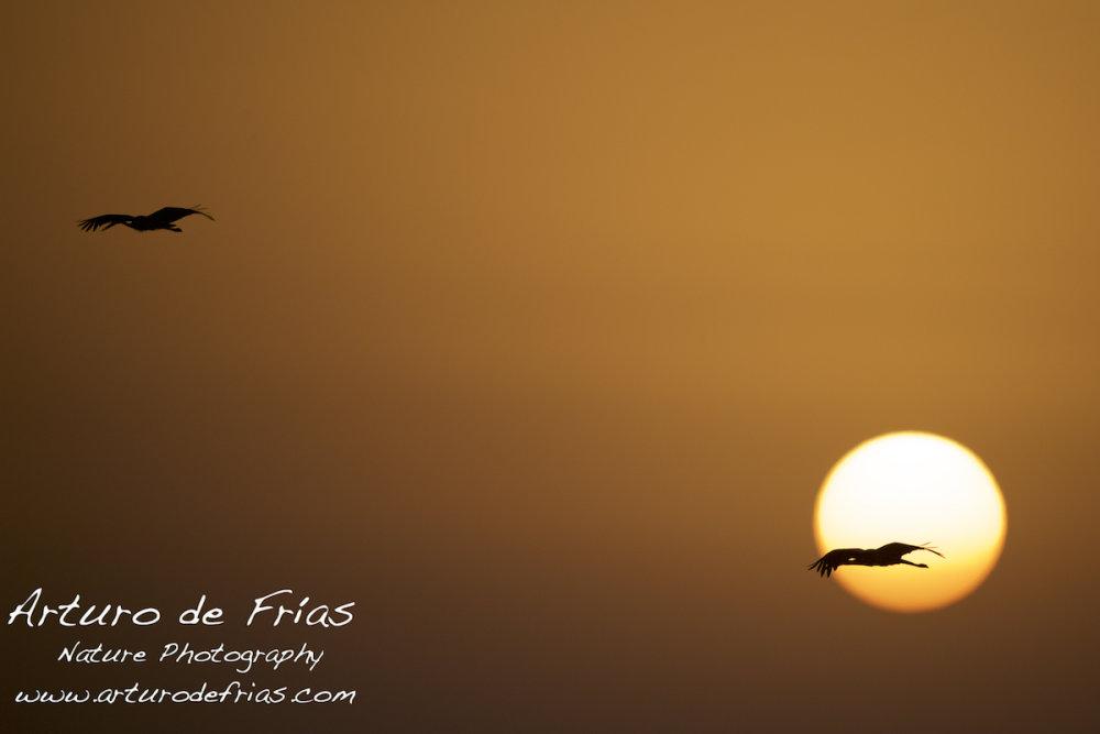 White Storks at Sunrise