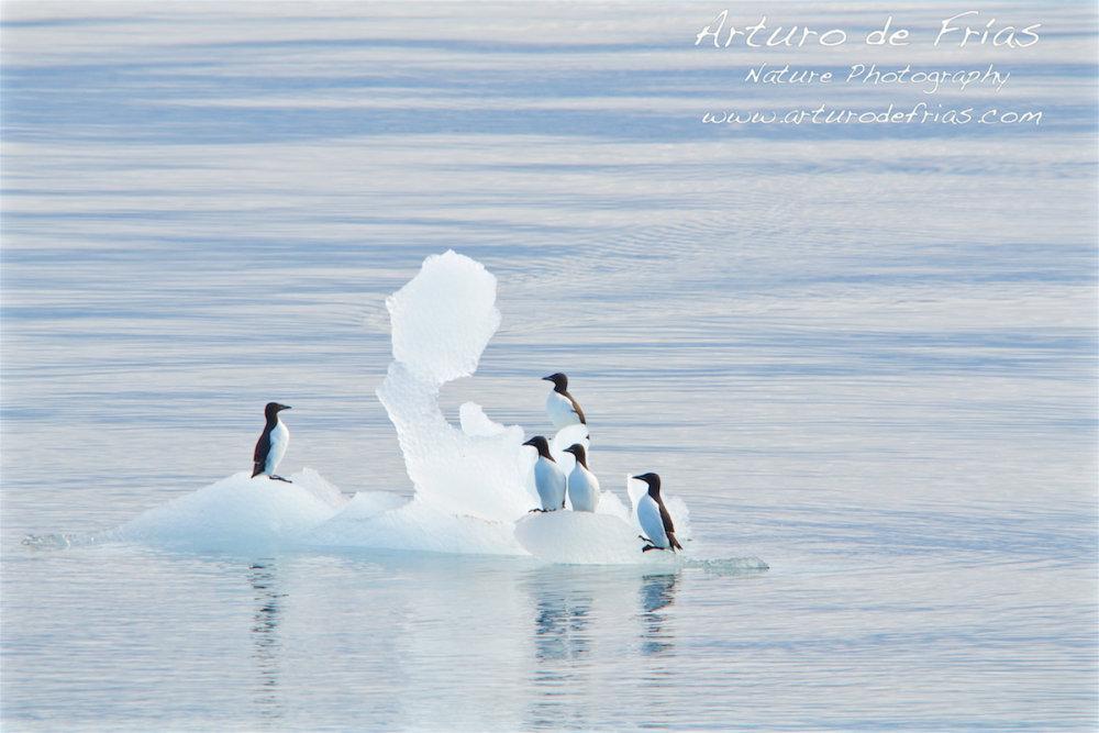False penguins