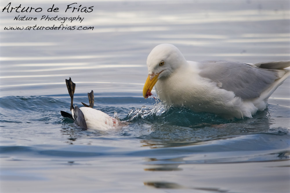 Kittiwake feeding on Guillemot