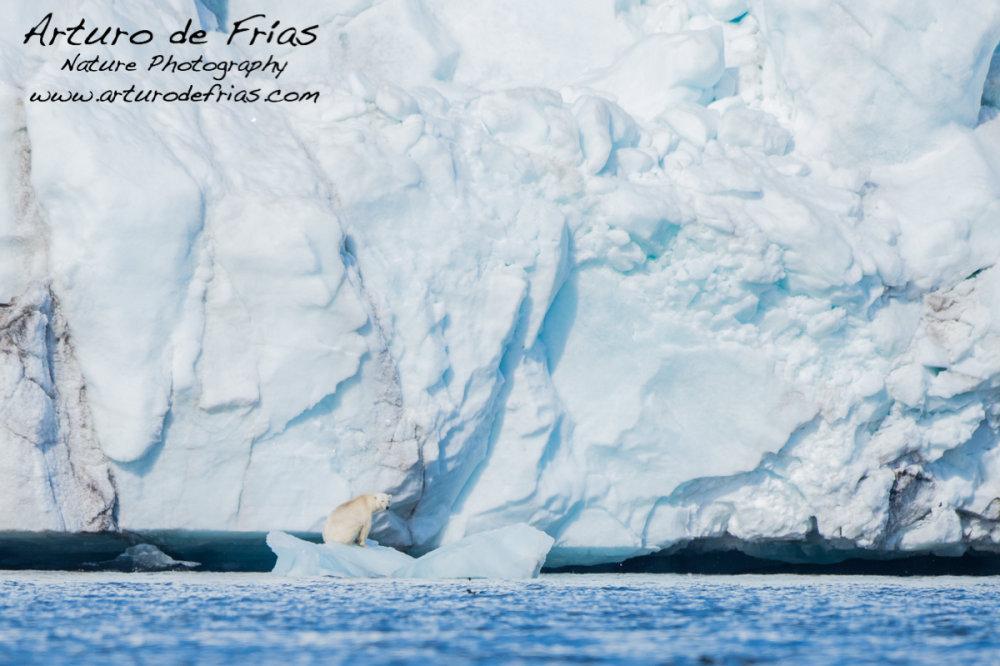 Polar Bear and massive glacier face