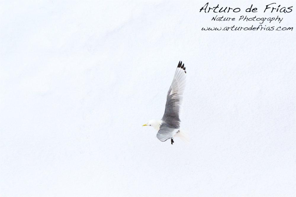 Gull in White