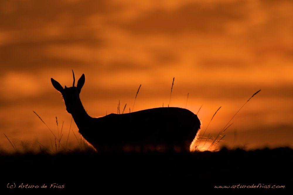 One Horned Gazelle