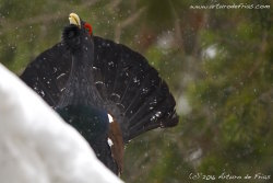 Capercaillie courtship song 2