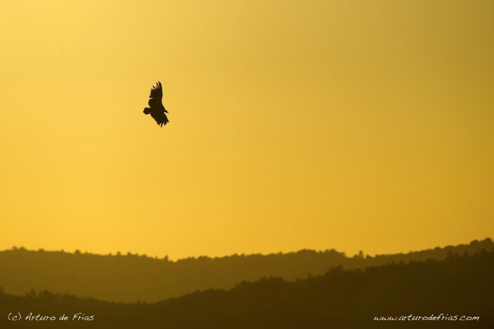 Vulture in Summer