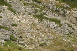 Brown Bear in the mountain