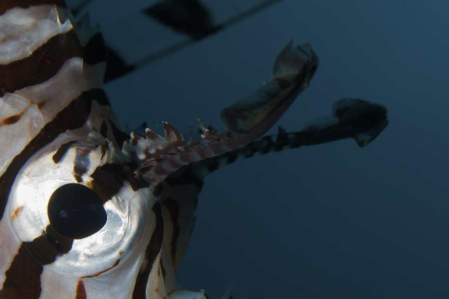 Common Lionfish / Devil Firefish