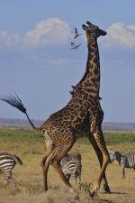 Annoyed Giraffe