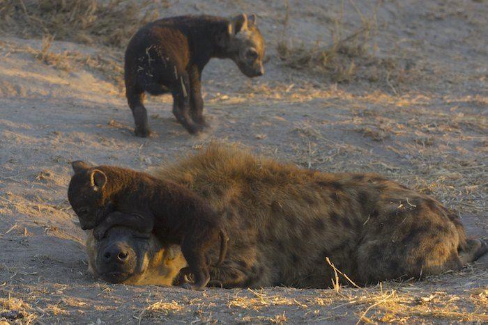 Hyena Mum