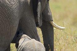 Elephant calf suckling