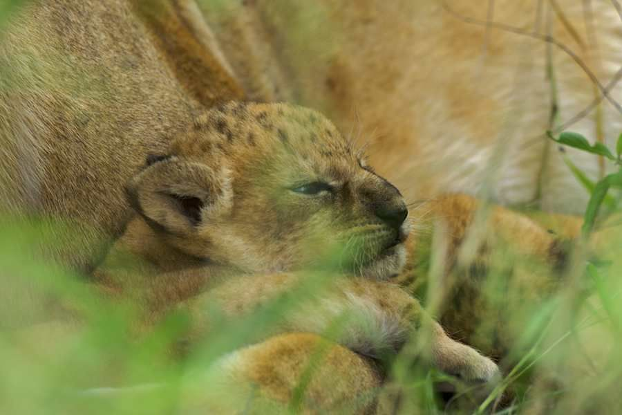 New born lion cub