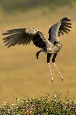 Secretary Bird in flight