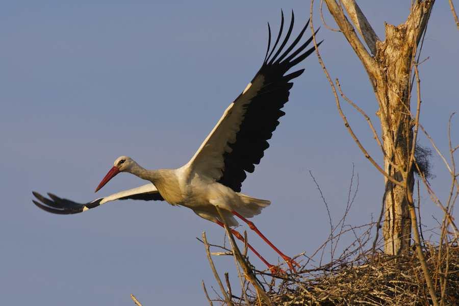 White Stork leaving its nest