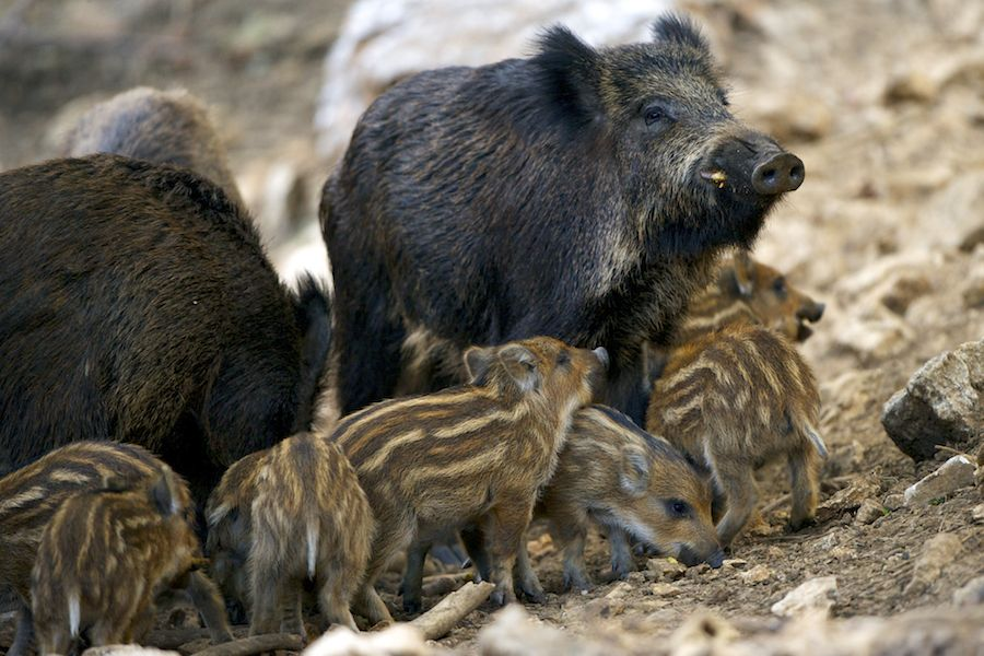WIld Boar and Piglets
