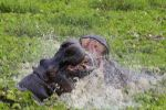 Hippo fight