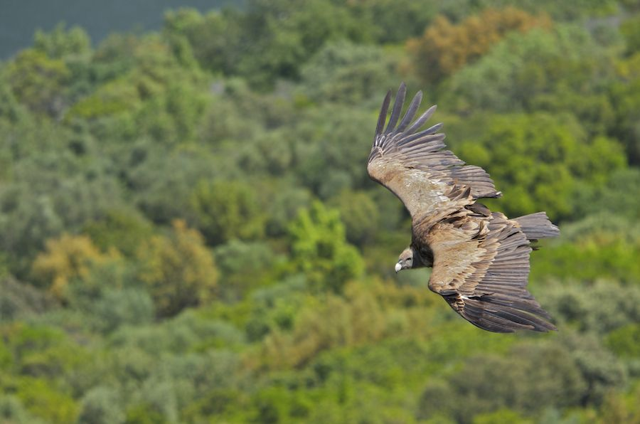 Vulture from Above