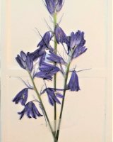 Found bluebells, pressed and mounted, Wordsley playing fields