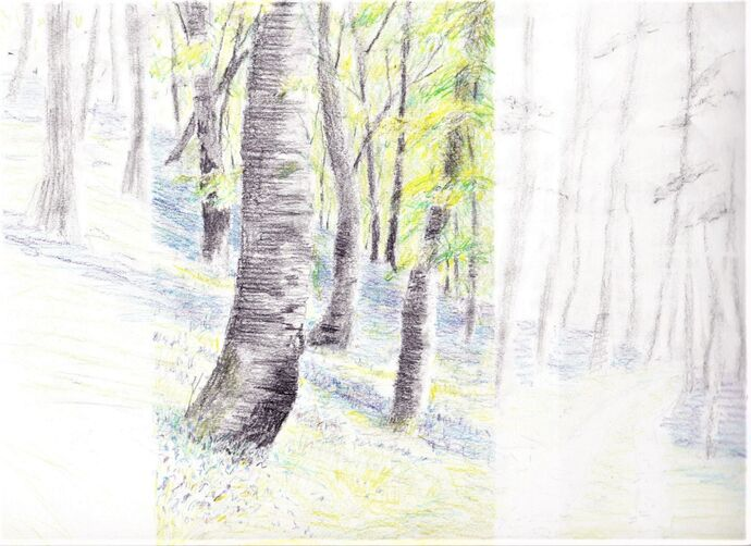 Bluebell Wood in Coloured Pencil Step by step project