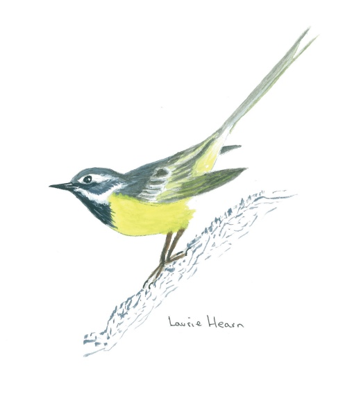 """""""Grey Wagtail"""" by Laurie Hearn"""