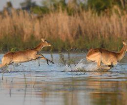 Red Lechwe,Okavango Delta,Botswana