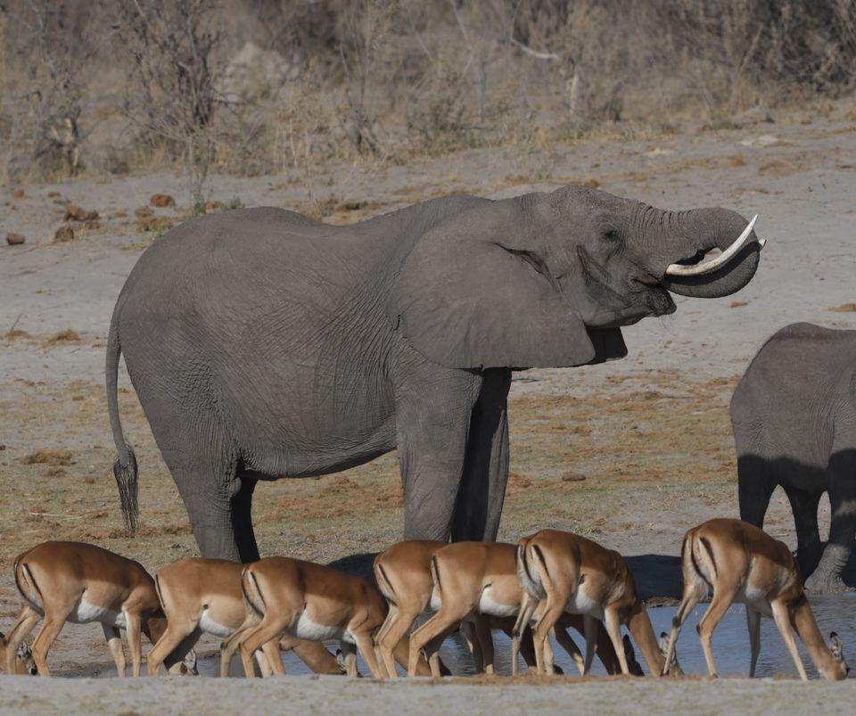 Elephant,Okavango Delta Botswana