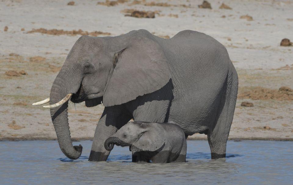 Elephant ,Okavango Delta,Botswana