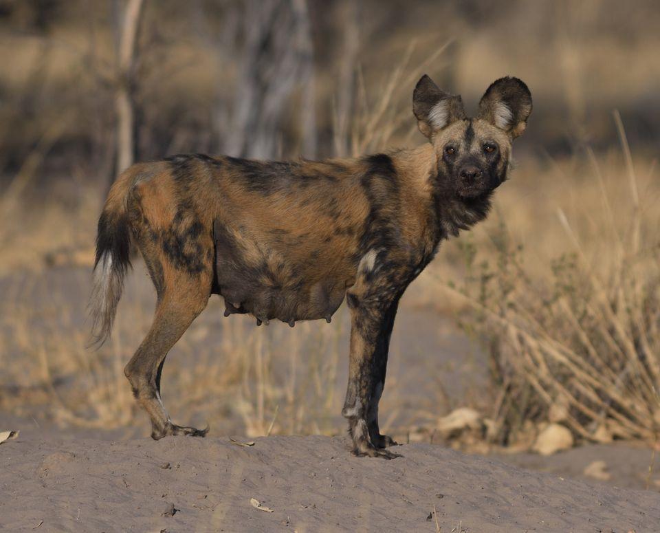 African Wild Dog,Linyanti,Botswana