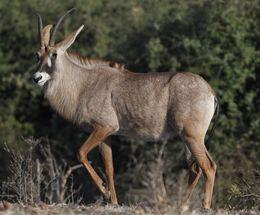 Roan Antelope,Chobe,Botswana