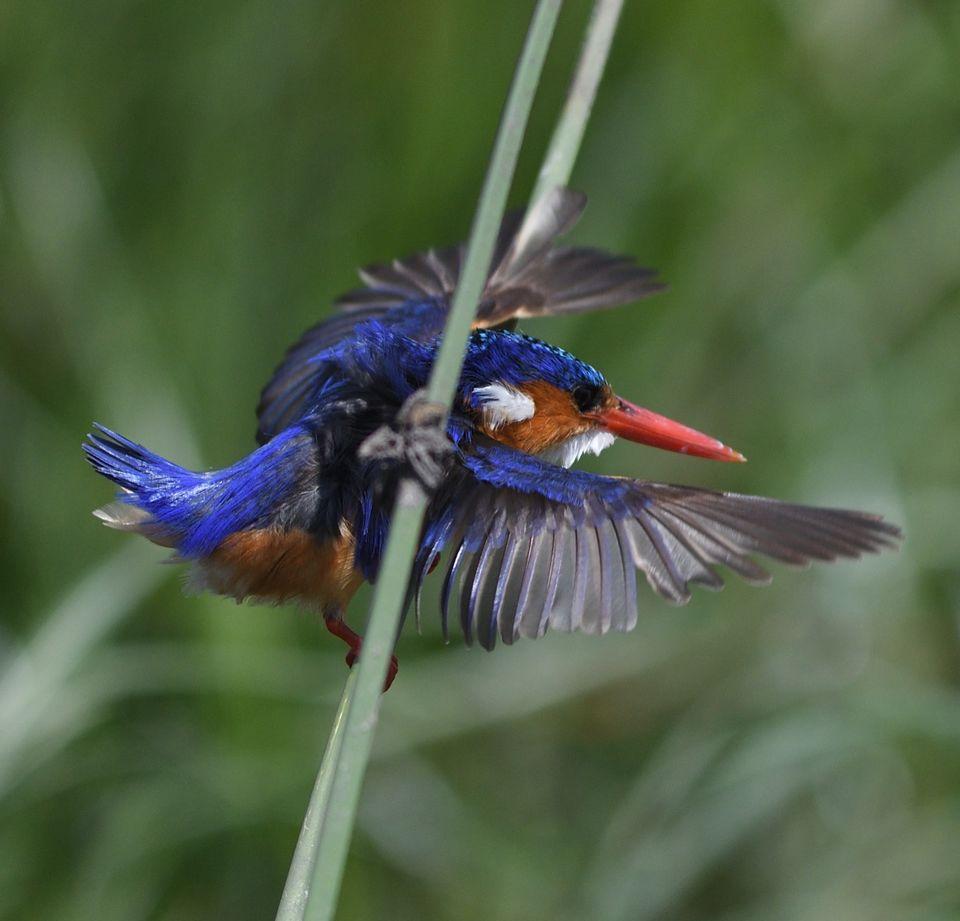 Malachite Kingfisher,Chobe,Botswana