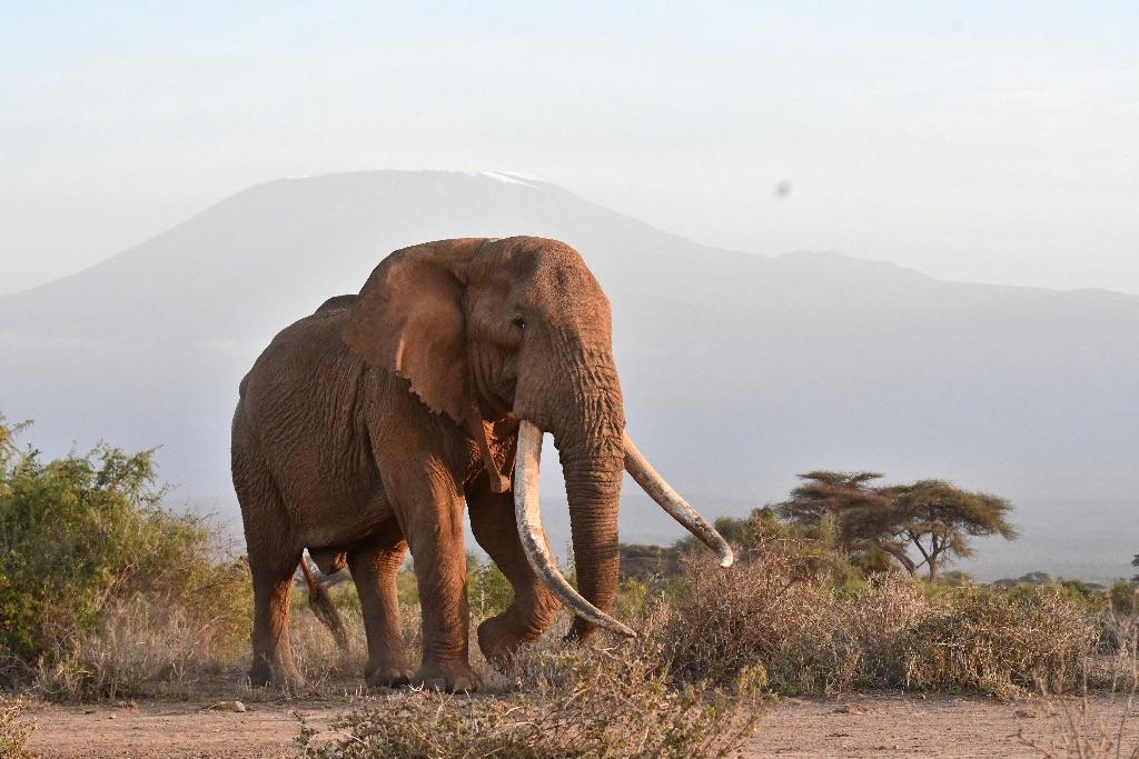 Elephant ,Amboseli,Kenya
