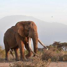 Elephant ,Amboseli