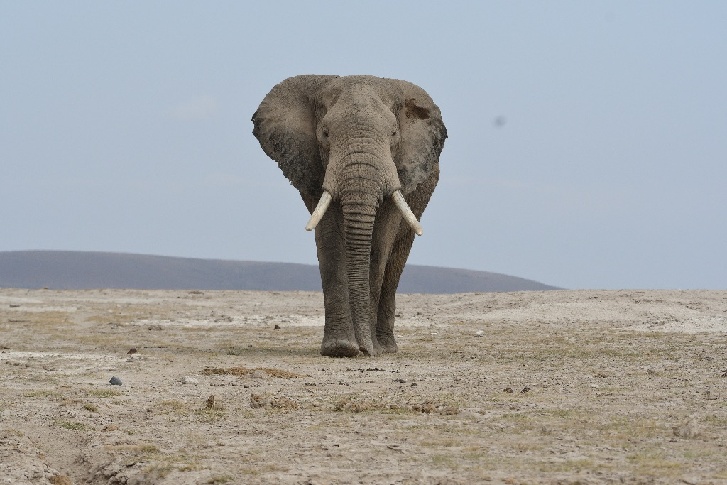 Elephant,Amboseli,enya