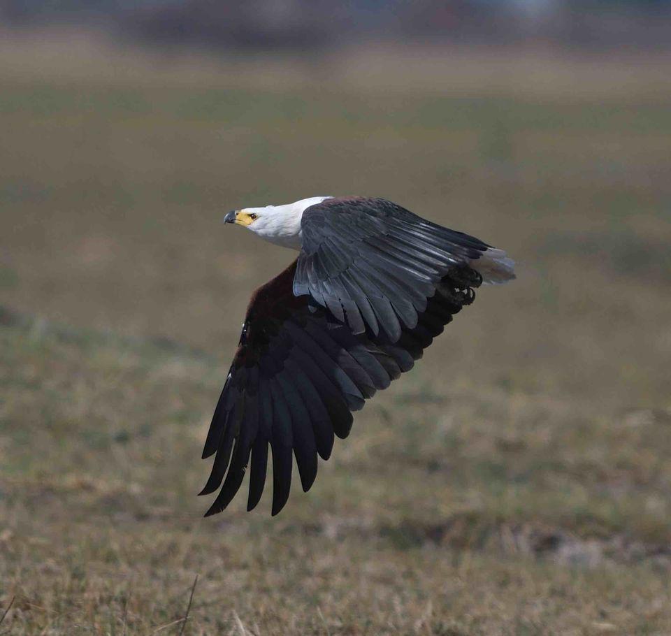 African Fish Eagle,Okavango Delta,Botswana