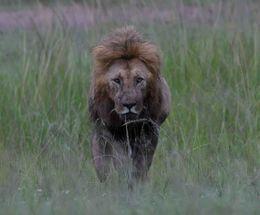 African Lion,Masai Mara,Kenya