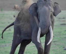 Asiatic Elephant,Nagarhole