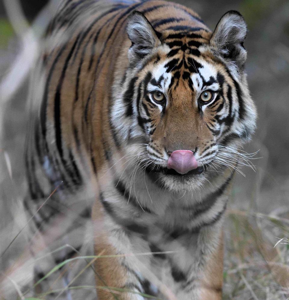 Bengal Tiger,Panna