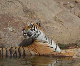 Bengal tiger,Ranthambhore