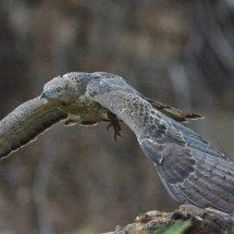 Bonelli's Eagle(Juvenile),Ranthambhore