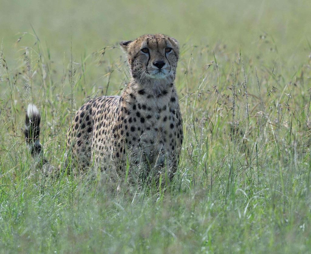 Cheetah,Masai Mara,Kenya